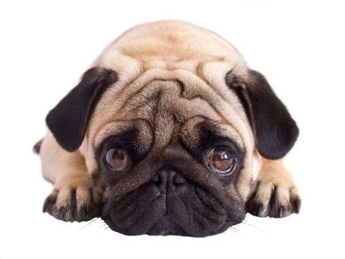犬の角膜潰瘍(潰瘍性角膜炎)