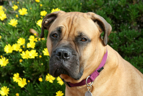 【獣医師監修】実は穏やかなブルマスティフの性格や寿命、飼い方「こわもての番犬?」