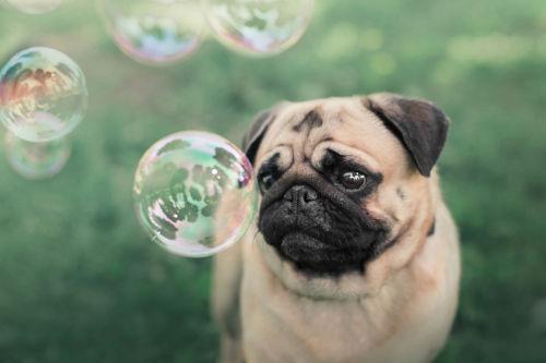 【獣医師監修】パグを飼ってみたい人必見!パグが飼いやすいといわれる3つの理由(性格・特徴)