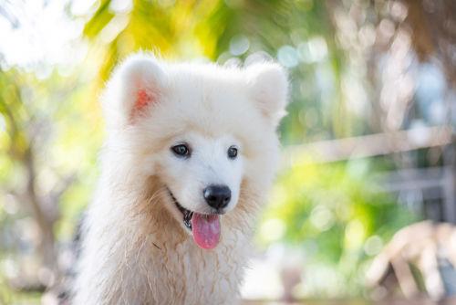 【獣医師監修】知っておきたいサモエドの特徴と飼い方「でっかいもふもふの白い甘えん坊!」
