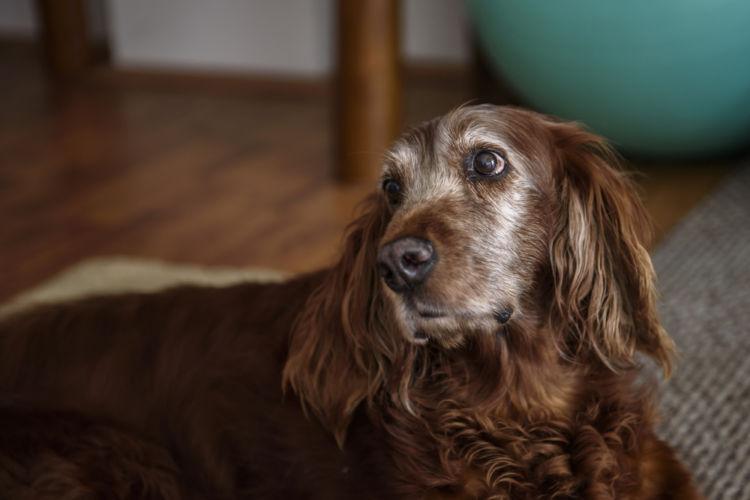 【獣医師監修】犬のフケが多い。この症状から考えられる原因や病気は?