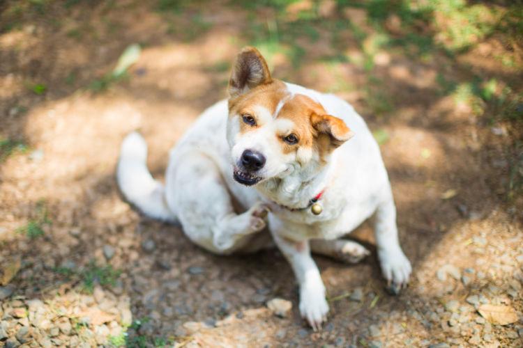 【獣医師監修】犬が皮膚(体)を掻いている。この症状から考えられる原因や病気は?