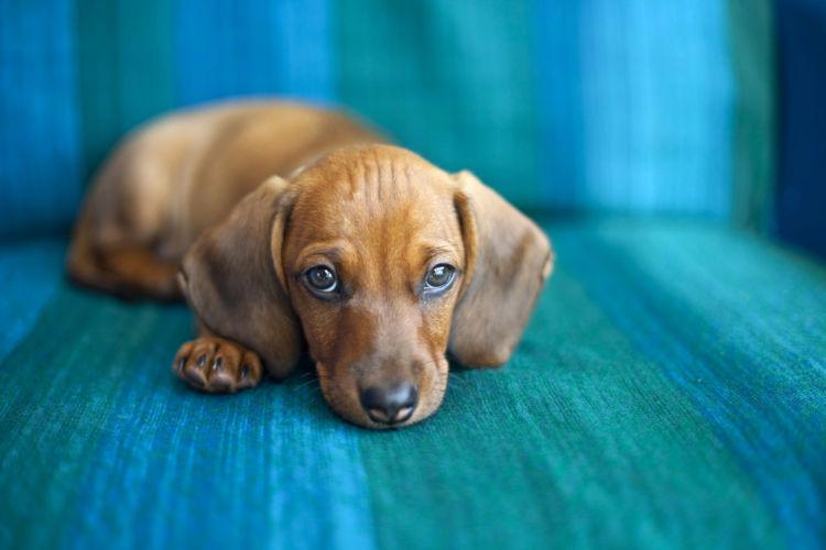 犬の舌炎【発症しやすい犬種】