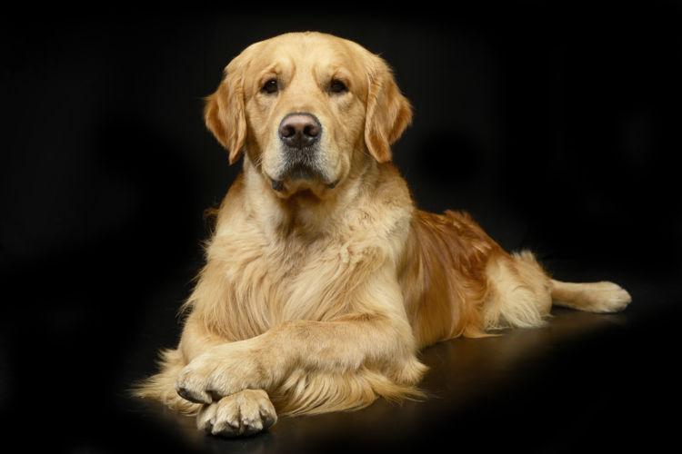犬の消化器型リンパ腫【発症しやすい犬種】