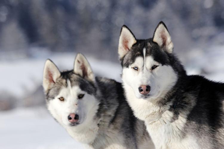 犬の口内炎【発症しやすい犬種】
