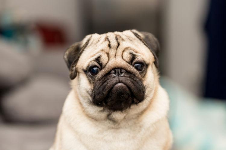 【獣医師監修】「犬の口唇炎(こうしんえん)」原因や症状、なりやすい犬種、治療方法は?