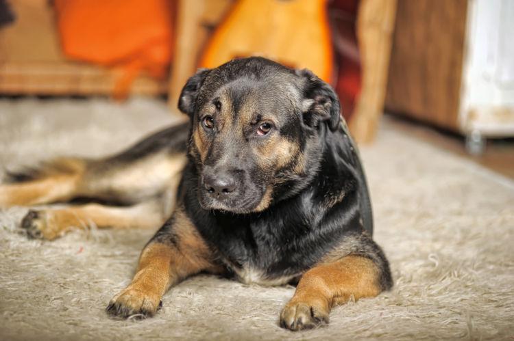 犬の口唇炎と間違えやすい病気