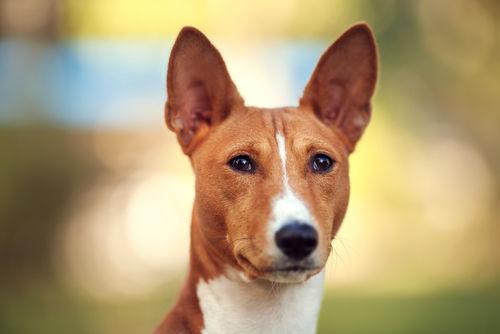 バセンジー【歴史】~ピグミー族と暮らしていた古代犬