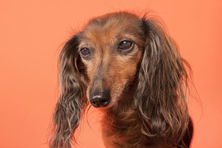 【獣医師監修】「犬の緑内障」原因や症状、なりやすい犬種、治療方法は?