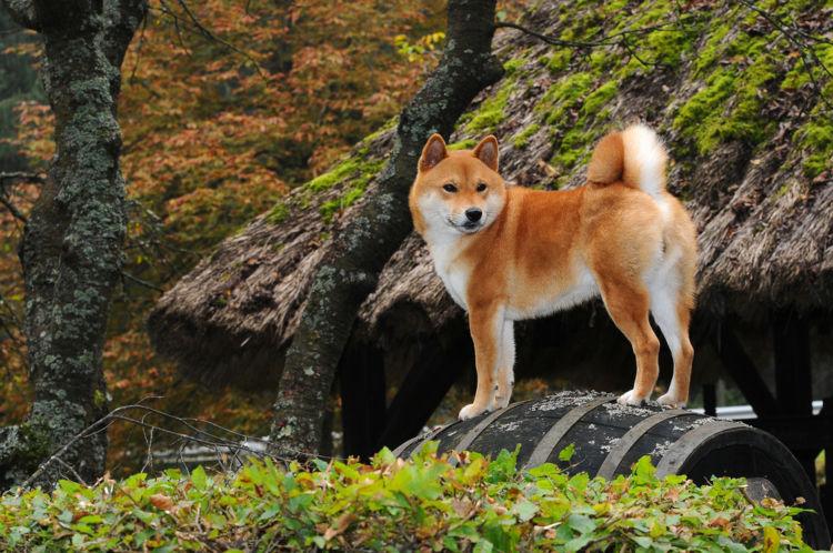 犬の緑内障【発症しやすい犬種】