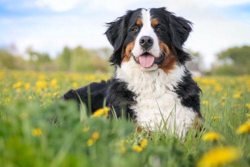 【獣医師監修】バーニーズ・マウンテン・ドッグの性格や寿命、飼い方「家庭犬として優秀!」