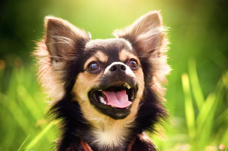 犬の緑内障【原因】