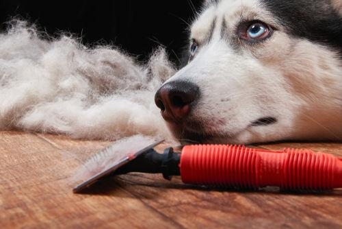 【獣医師監修】犬が脱毛している。この症状から考えられる原因や病気は?