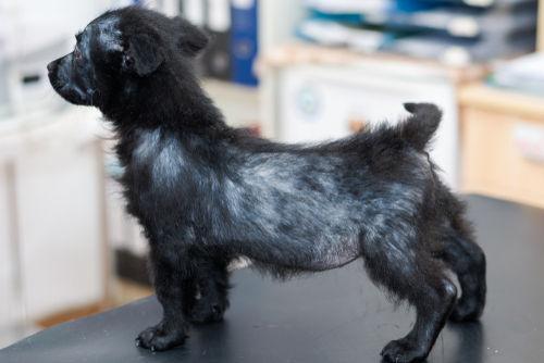 犬の毛包虫症(ニキビダニ症、アカラス症)