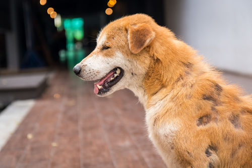 犬の副腎皮質機能亢進症(クッシング症候群)