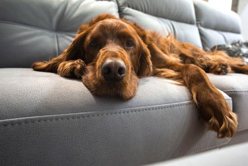【獣医師監修】犬の毛艶(けづや)が悪い。この症状から考えられる原因や病気は?