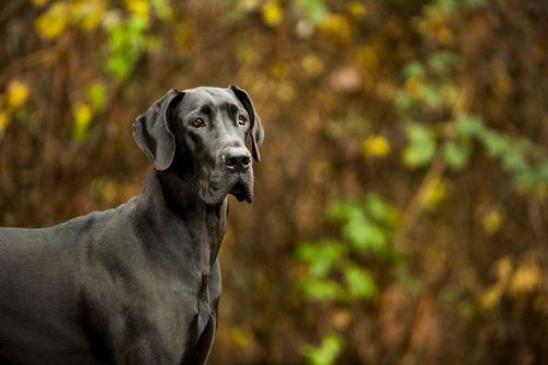 グレート・デーン【歴史】その①~愛され続けるドイツの国犬