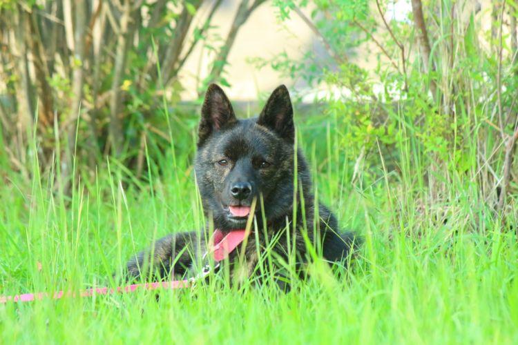 甲斐犬の犬種基準