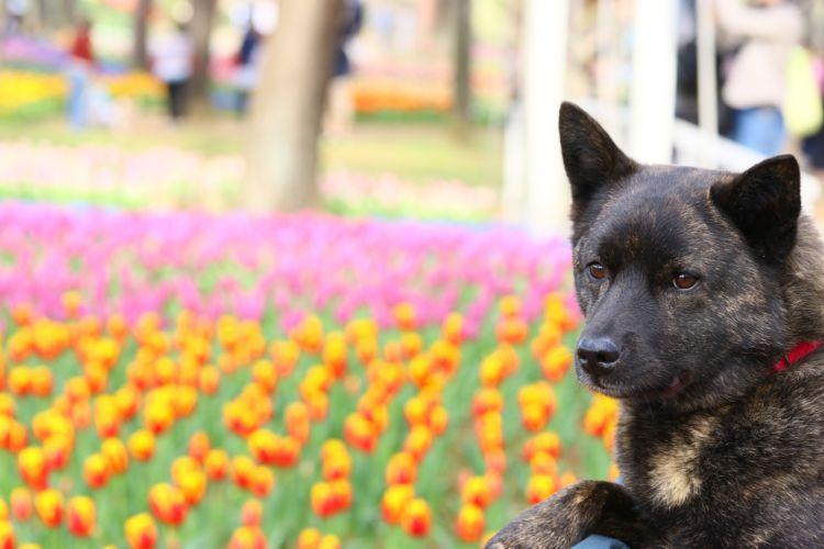 <甲斐犬>性格の特徴