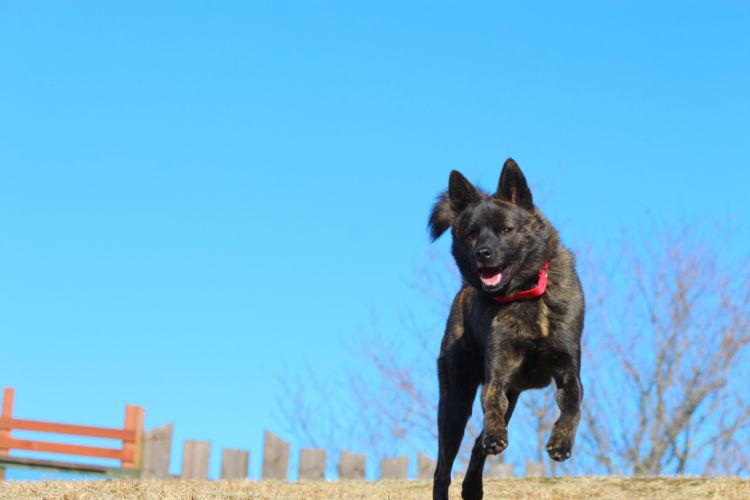 飼い主に従順な甲斐犬