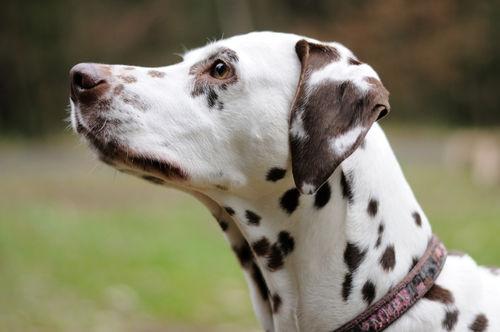【獣医師監修】犬の皮膚に黒い斑点がある。この症状から考えられる原因や病気は?