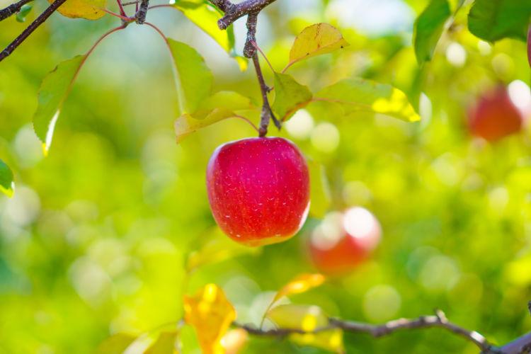 愛犬にも嬉しい!りんごの栄養素「クエン酸」「ビタミン」「食物繊維」