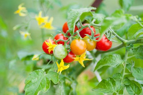 ●注意点② トマトの「花」「葉」「茎」は絶対に犬に与えない!