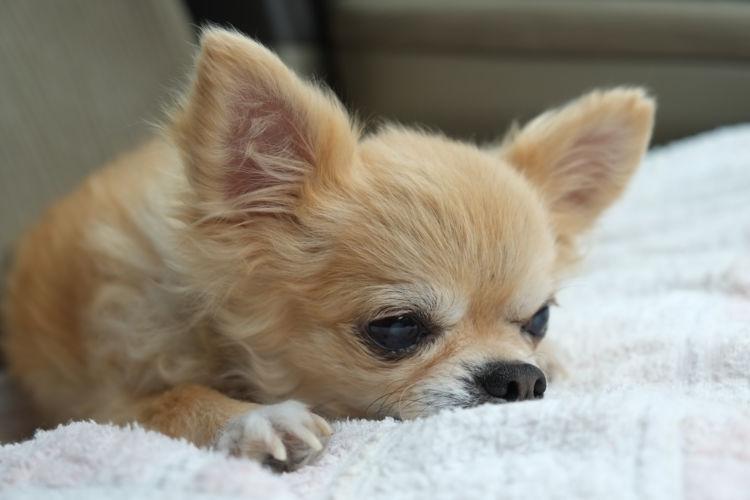 愛犬がガムを噛まずに誤って丸呑みした!誤飲した場合の「対処方法」は!?