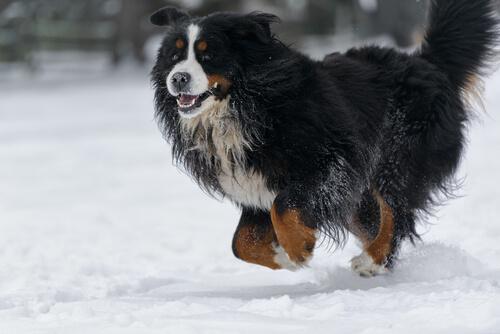 家庭犬として優秀な性格!バーニーズ・マウンテン・ドッグの飼い方