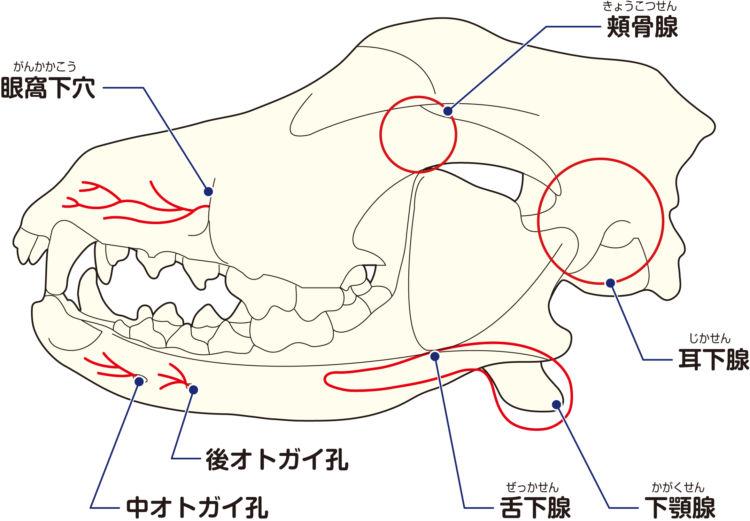 犬の唾液瘤(だえきりゅう)とは