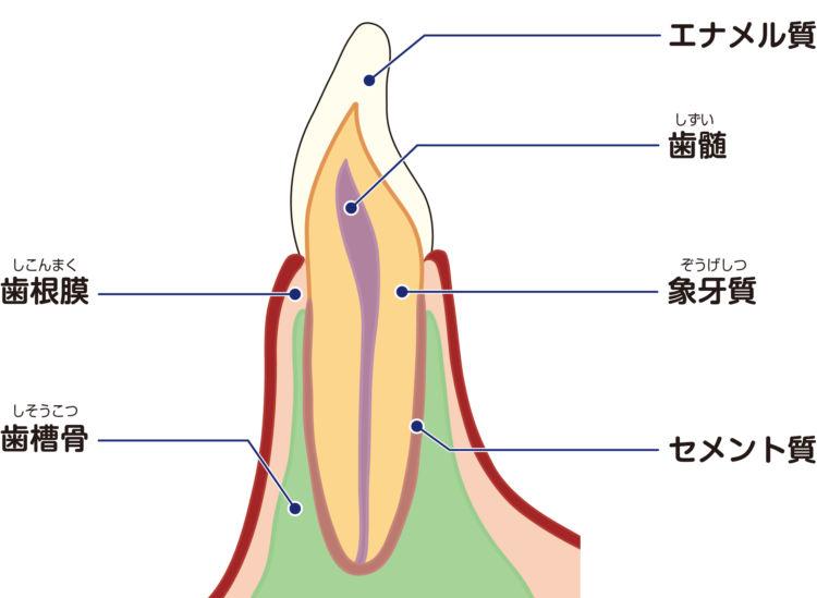 犬の歯髄炎【原因】