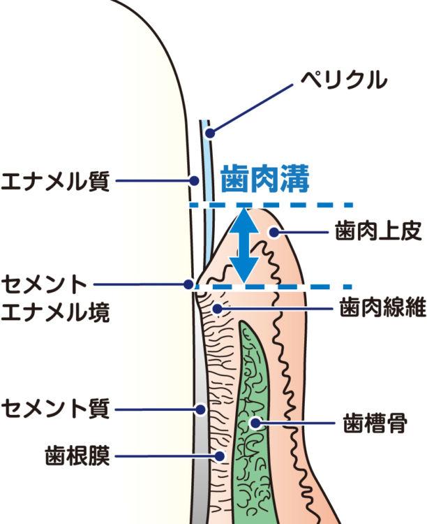 犬の歯周組織の構造