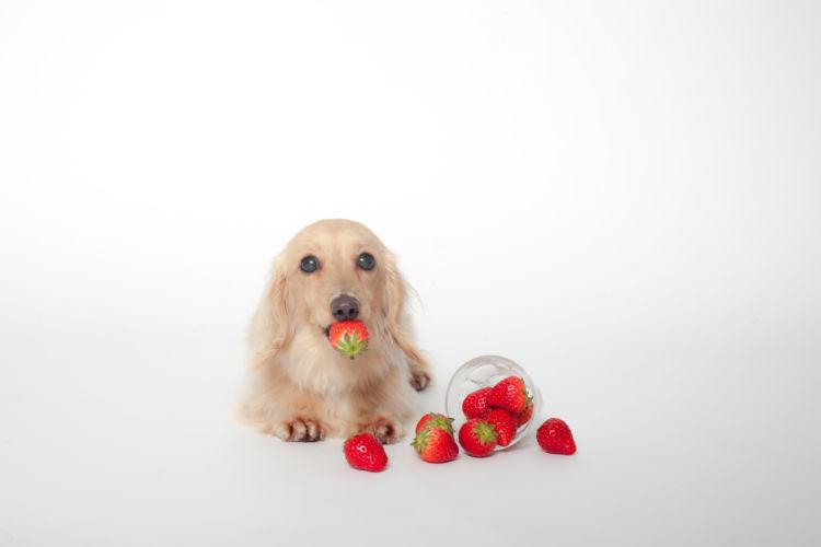 いちごの正しい知識をもった愛犬との生活