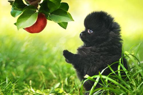 【獣医師監修】犬がりんご(皮)を食べても大丈夫?適量は?腎臓病や胆泥症、アレルギーに注意!