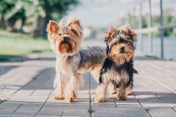 犬の前十字靭帯断裂【発症しやすい犬種】