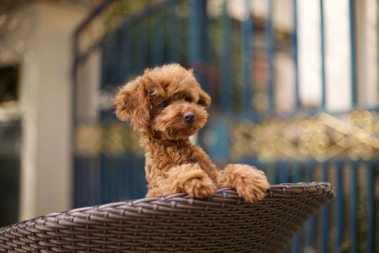 犬の口腔鼻腔瘻【発症しやすい犬種】