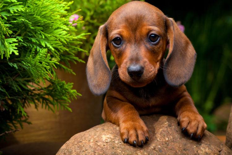 【獣医師監修】「犬の悪性黒色腫(メラノーマ)」原因や症状、なりやすい犬種、治療方法は?