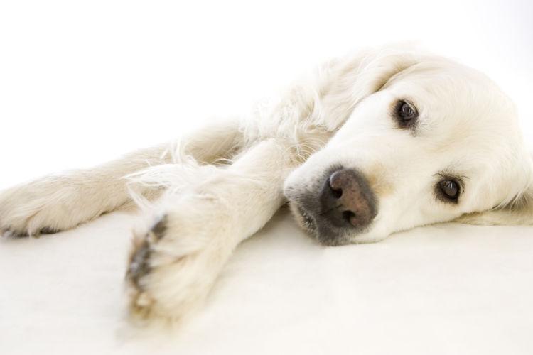 【獣医師監修】「犬の血管肉腫」原因や症状、なりやすい犬種、治療方法は?