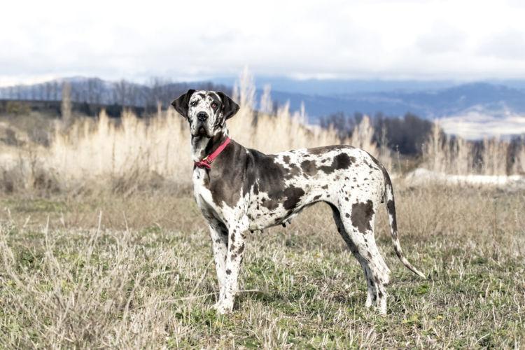 犬の血管肉腫【発症しやすい犬種】
