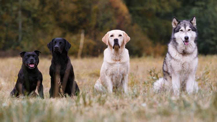犬の線維肉腫【発症しやすい犬種】