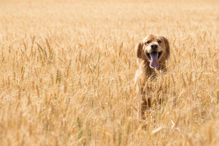 穀類(グレイン)は犬のエネルギー源