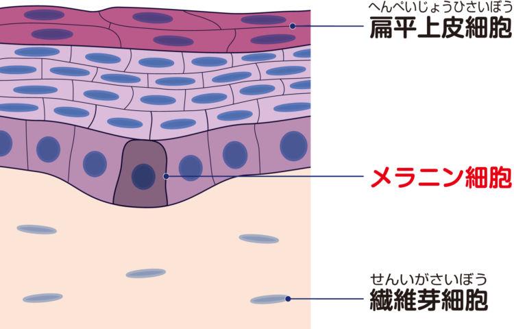 犬の悪性黒色腫(メラノーマ)【原因】