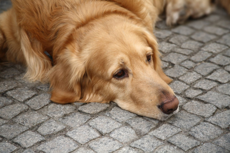 犬のリンパ節が腫れる【考えられる原因】