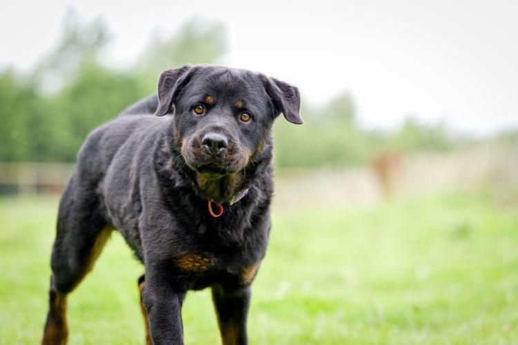 ロットワイラー【歴史】~ドイツ原産の最古の犬種