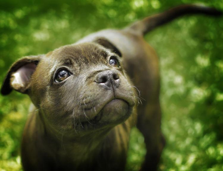 スタッフォードシャー・ブル・テリア【歴史】その②「家庭犬として改良された犬種」