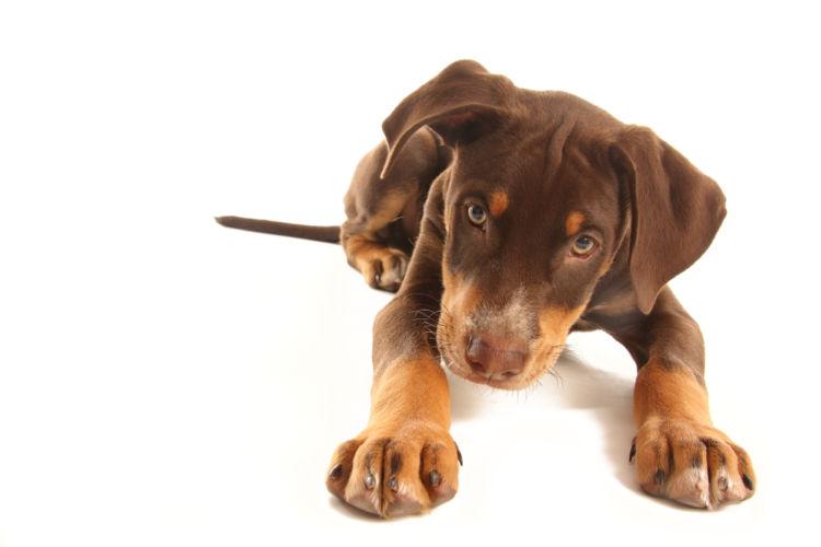 垂れた耳のドーベルマンの子犬