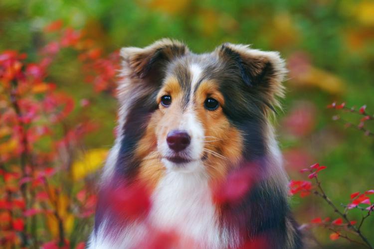 【獣医師監修】シェットランド・シープドッグの性格と特徴「小型で優雅な牧畜犬!」