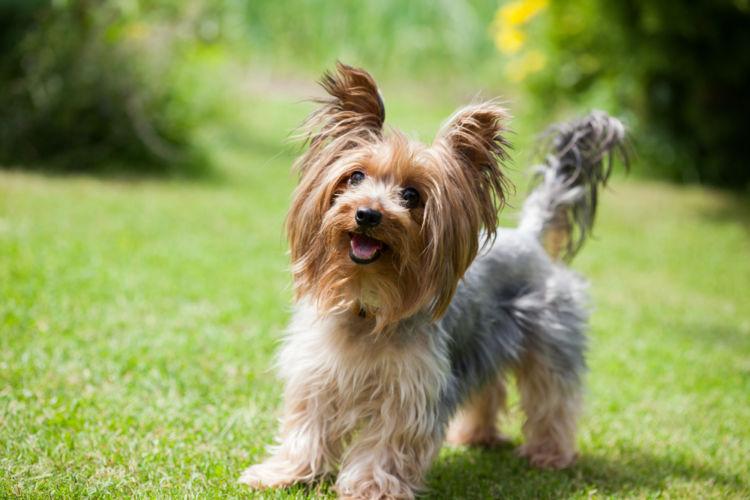 【獣医師監修】犬の外歯瘻(がいしろう)原因や症状、なりやすい犬種、治療方法は?