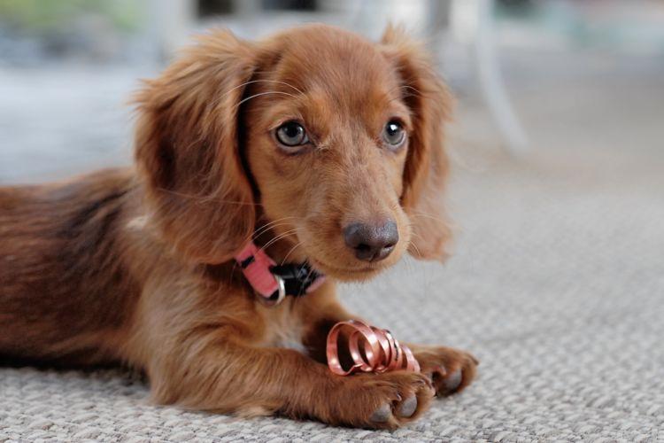 【獣医師監修】犬の内歯瘻(ないしろう)、原因や症状、なりやすい犬種、治療方法は?