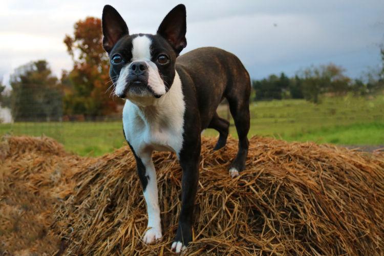 犬の口蓋裂【発症しやすい犬種】